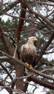 Sea eagle, Beinn Eighe. Pic credit: Eoghain Maclean, SNH