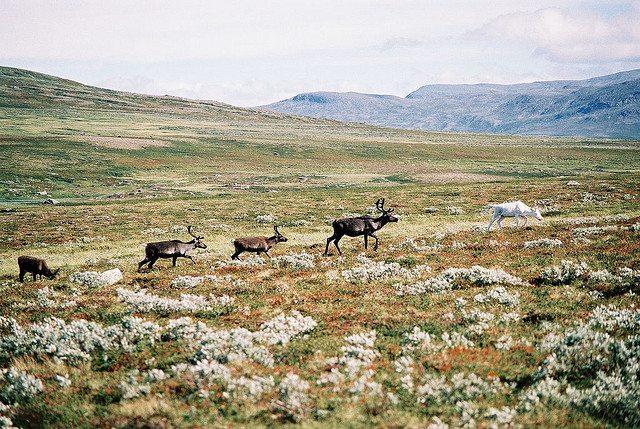 Sweden for walkers. Spot the albino deer in front of the reindeer train. PIc credit: Oskar Karlin  on Flickr