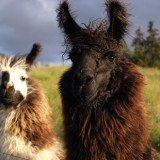 Gorgeous Llamas (3)