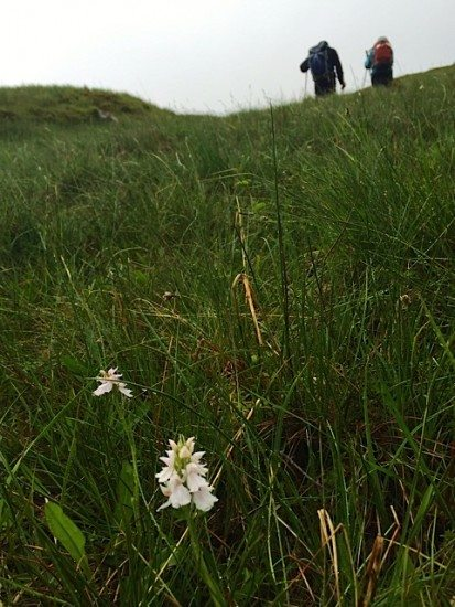 The lower slopes were abundant with Spotted Heath Orchids.