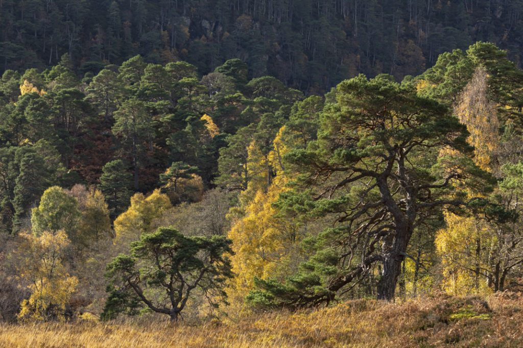 Scots pine and birch, Culligran Forest, Glen Strathfarrar. Credit: Colin Prior.