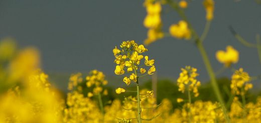 Wild mustard can be foraged in the UK. Credit: Petr Pakandl